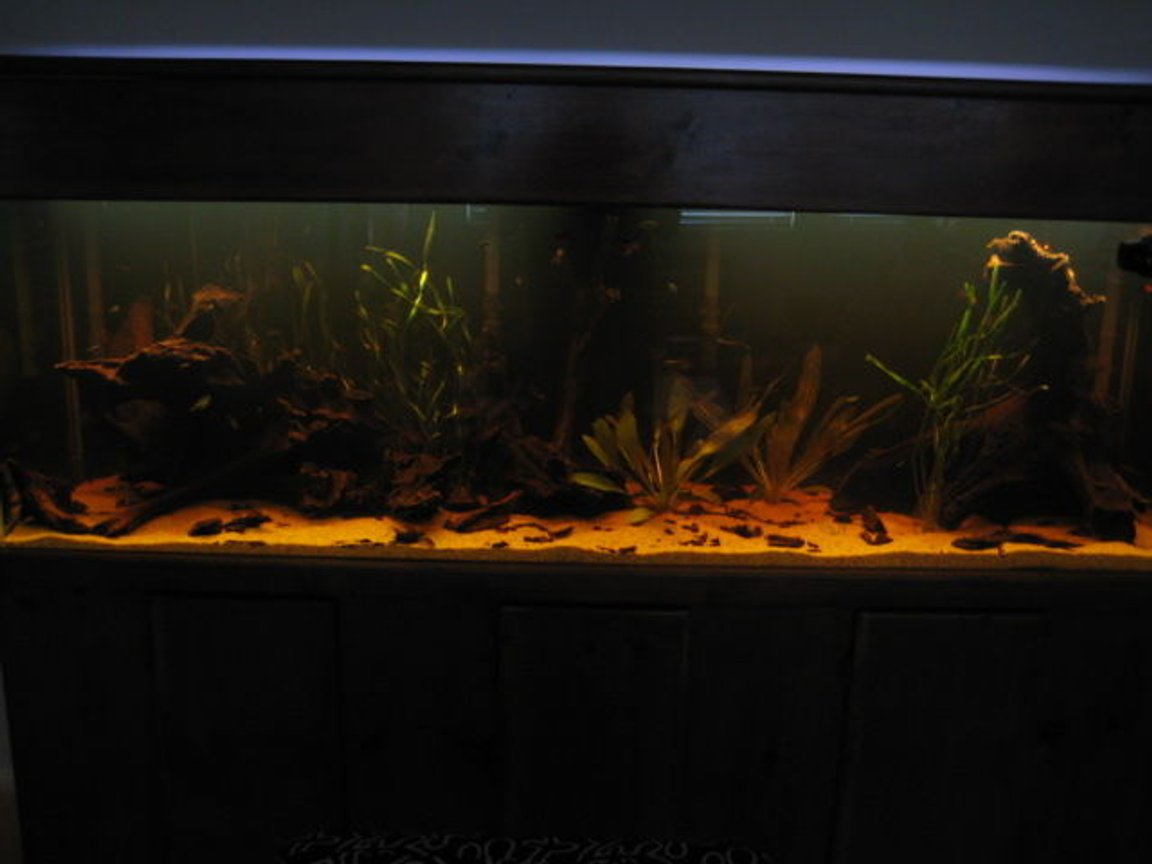 135 gallons planted tank (mostly live plants and fish) - amazonian biotope