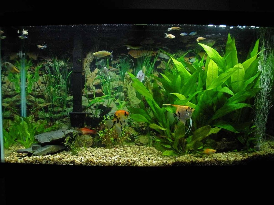 38 gallons planted tank (mostly live plants and fish) - My 38 Gallon aquarium.