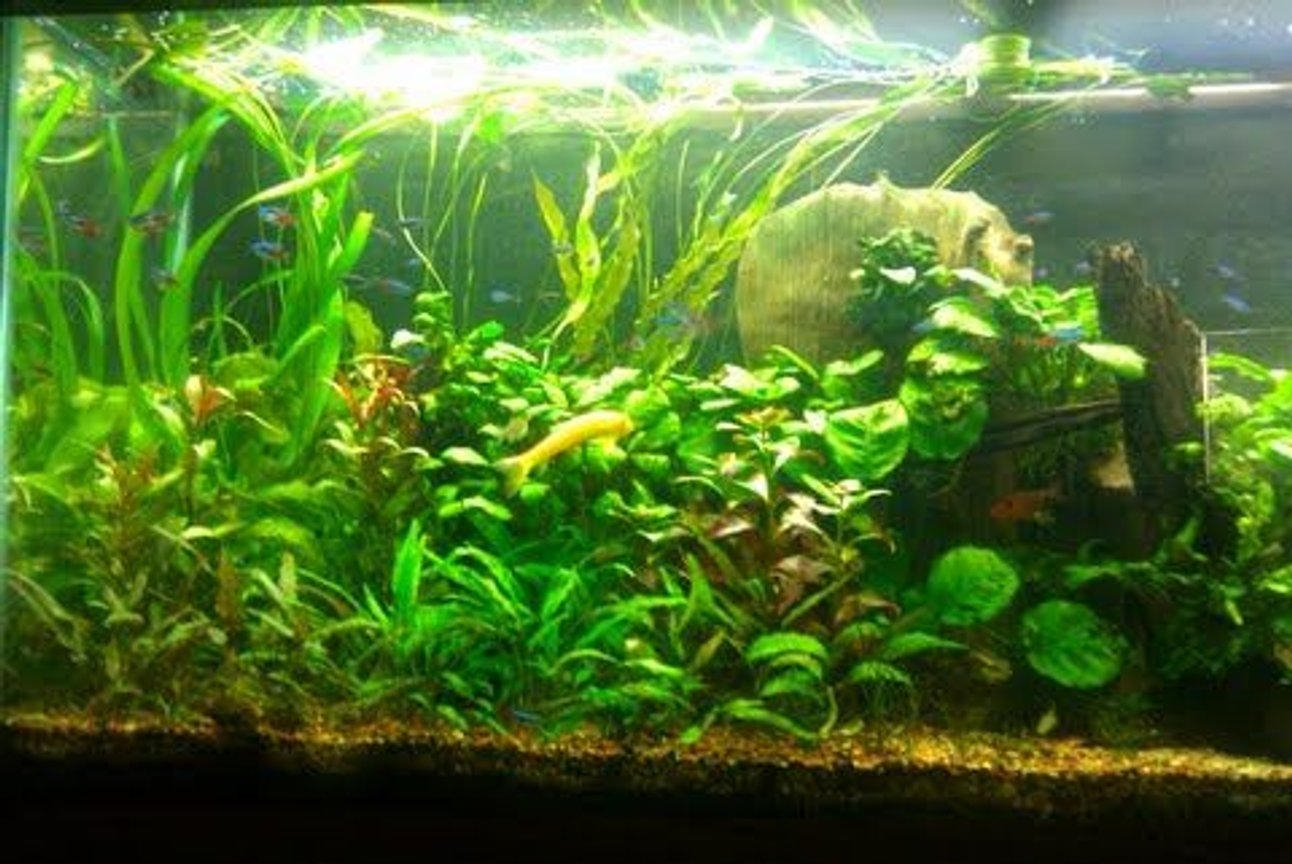 55 gallons planted tank (mostly live plants and fish) - Plants: Cryptocorynes,various aponogetons,java fern,dwarf hairgrass,anubias,pygmy chainswords,red ludwigia,marble queen sword,onion plants Fish: 45 green neons 30 neon tetras 4 red serpae tetra 1 rubberlip 5 otocinclus algae eater 1 golden algae eater 2 red cherry shrimp 6 purple tetras 1 pencilfish 1 SAE 1 bolivian ram 1 kribensis 3 yoyo loach