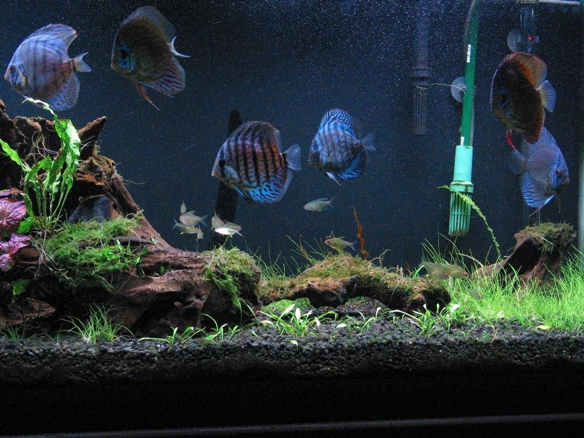 75 gallons planted tank (mostly live plants and fish) - Planted Discus Tank