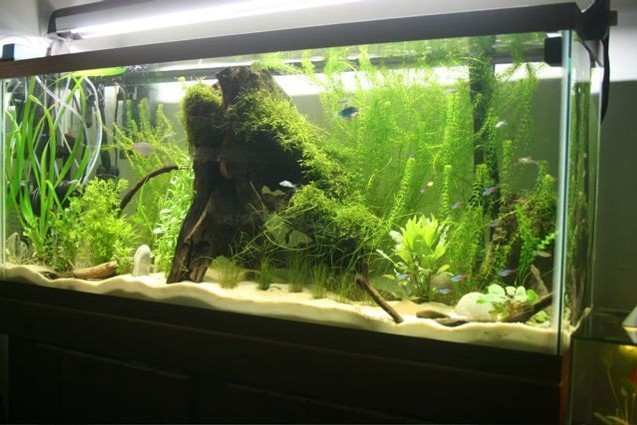 75 gallons planted tank (mostly live plants and fish) - Planted tank, java moss, and anacharis.