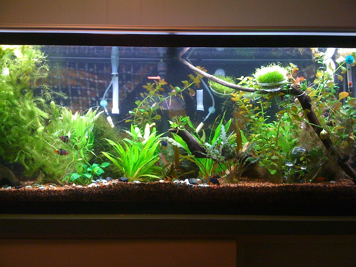 55 gallons planted tank (mostly live plants and fish) - Just under a year into the hobby.