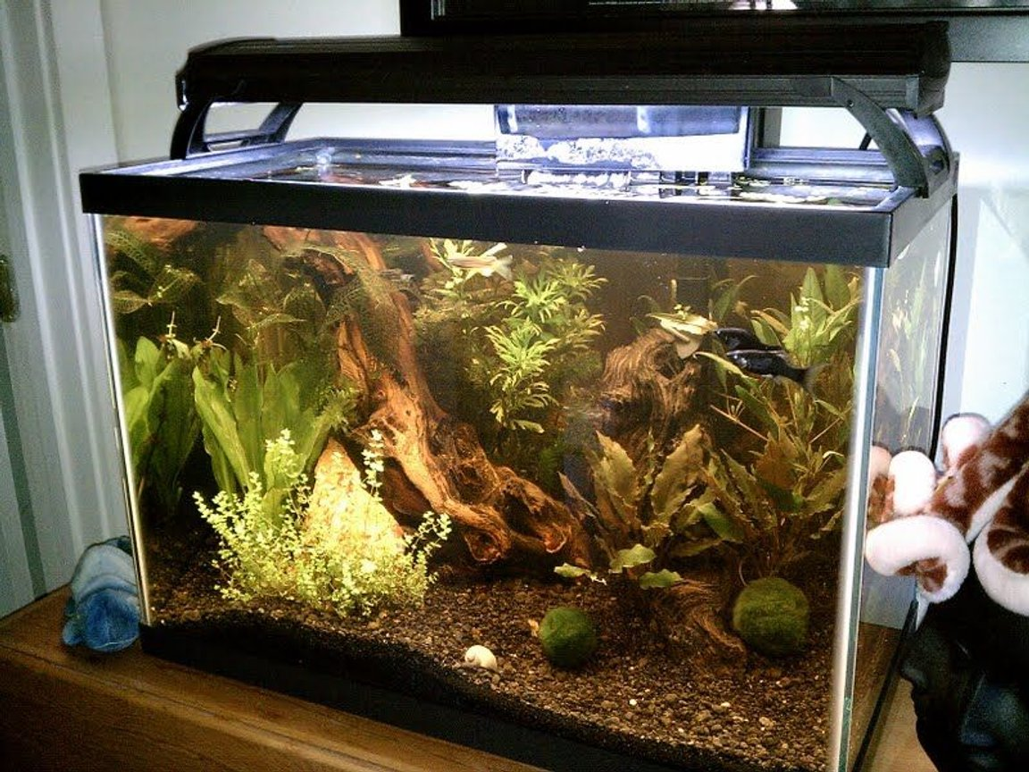 125 gallons planted tank (mostly live plants and fish) - Natural 20G...Its running a Bio-Wheel 200 and a 50w Pro Stealth heater. Eco-Complete substrate and african driftwood(still leeching after 6 months) The plants are wisteria, hornwort, java fern, anacharis, baby dwarf tears and floating baby tears. A Madagascar lace, plus some others I cant remember the names. Plus 2 marimo moss balls. The inhabitants are 2 dwarf gouramis, 2 blue rams, 2 black mollys, 2 long finned leopard danios, 2 zebra danios and 2 mystery snails.
