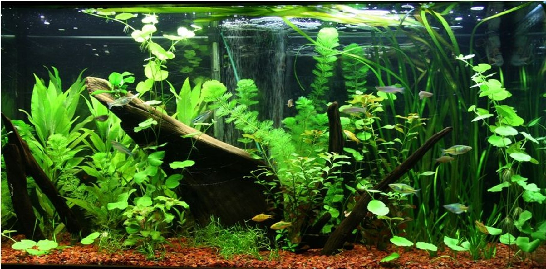 95 gallons planted tank (mostly live plants and fish) - 1 month old Asian/rainbow fish tank. Plants are growing nicely