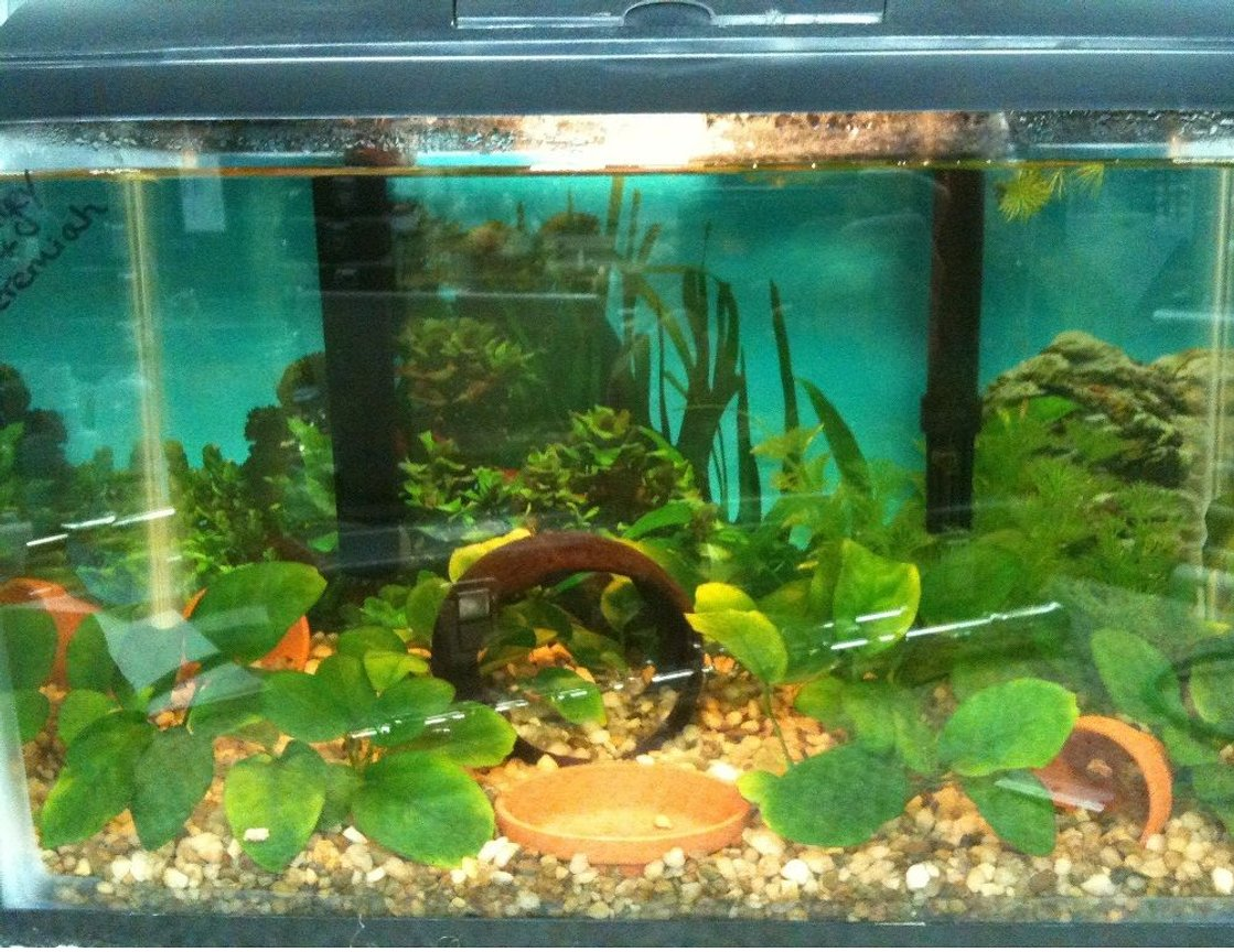 25 gallons planted tank (mostly live plants and fish) - African Dwarf Frogs and anubias barteri nanas