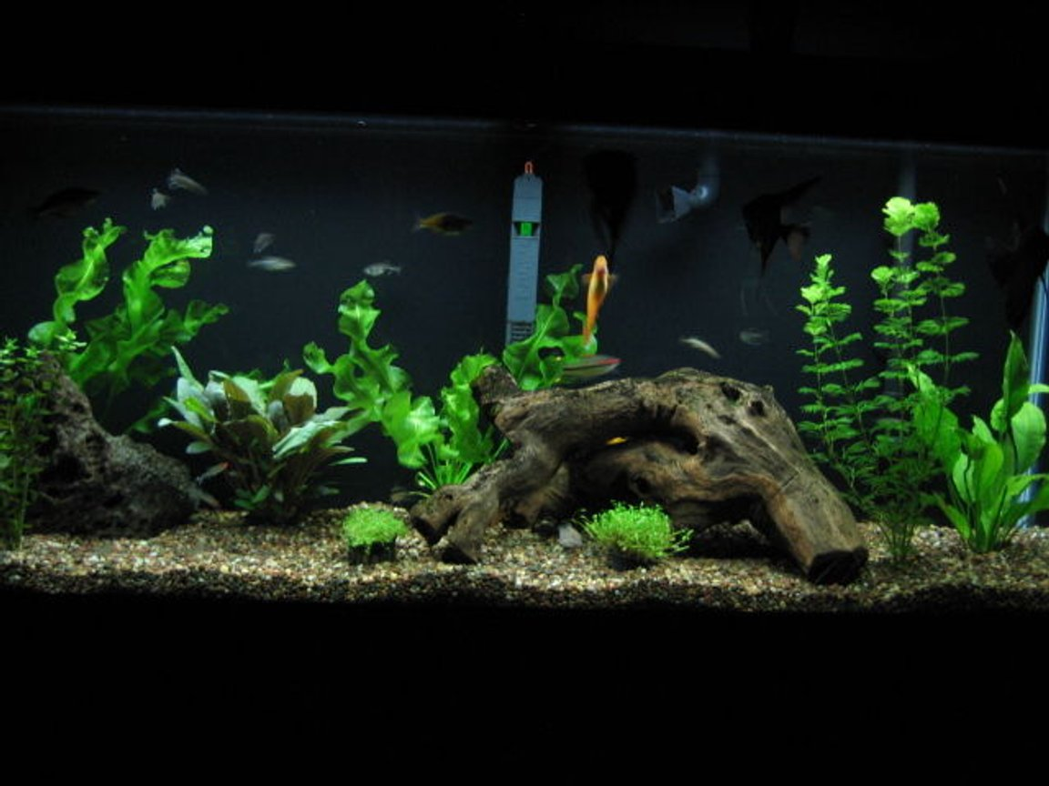 55 gallons planted tank (mostly live plants and fish) - Home Sweet Home