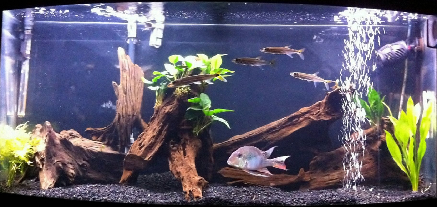 "72 gallons planted tank (mostly live plants and fish) - 72 Gallon Bowfront Fish: Geophagus Jurupari 4 Freshwater Barracudas Pictus Catfish Plants: Anubias on Driftwood, Java Jern, Amazon Sword Setup: Natural Driftwood, Fluvala 404 Filtration Koralia Evolution Powerhead, @ 46"" Sunglo blubs"