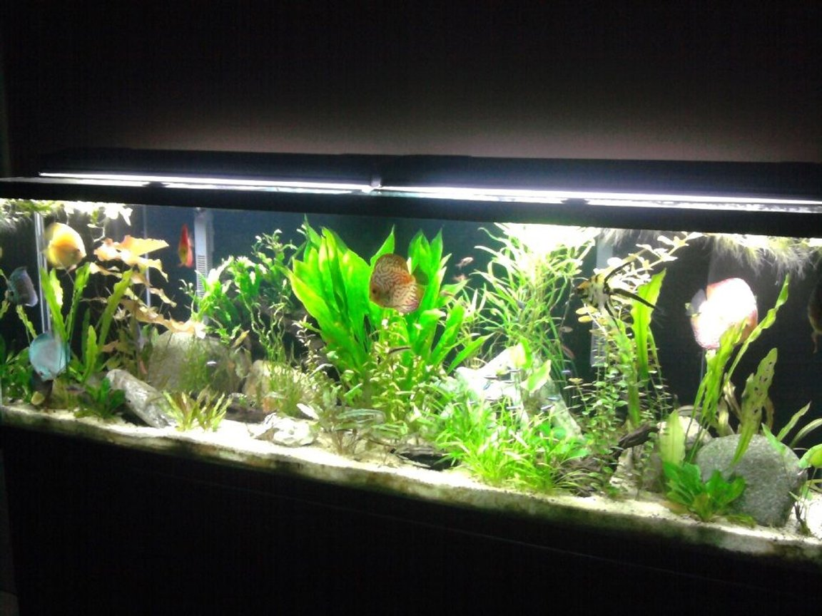 135 gallons planted tank (mostly live plants and fish) - Planted Discus Tank