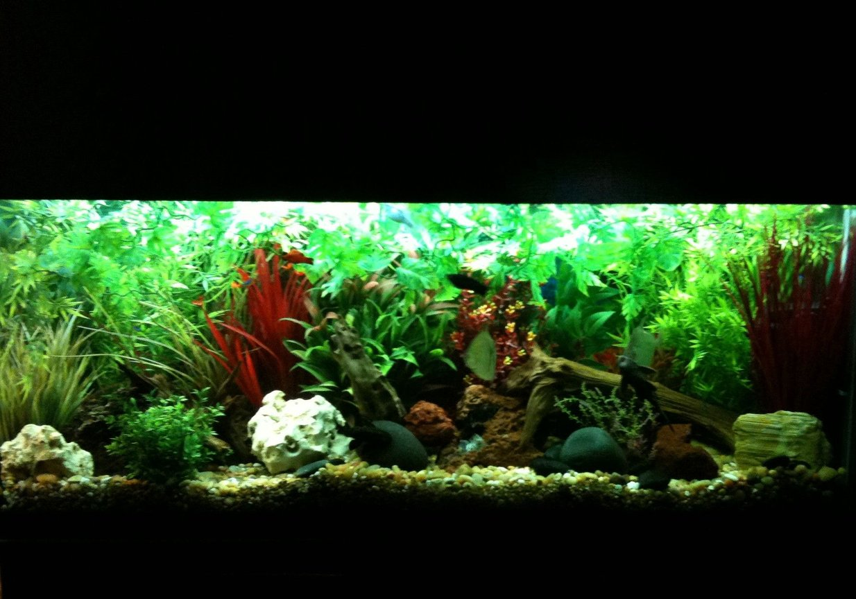 55 gallons planted tank (mostly live plants and fish) - Overall view of the 55 gallon freshwater aquarium