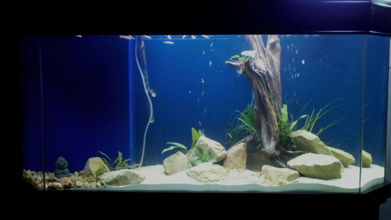 75 gallons planted tank (mostly live plants and fish) - Anubius, Java Fern, Spirilius, River Rocks, Ledge Rock, Cedar Driftwood, Cichlid Sand, Awaiting Calvus and Syno Cats