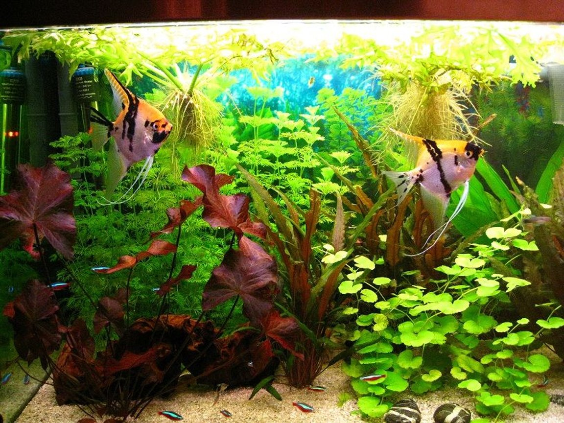 42 gallons planted tank (mostly live plants and fish) - This is my favorite couple of angelfish which had lots of babies until now.