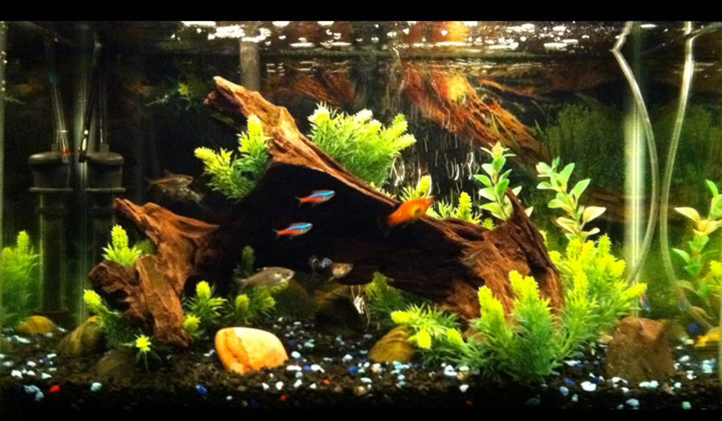 10 gallons planted tank (mostly live plants and fish) - Plants surrounding driftwood.