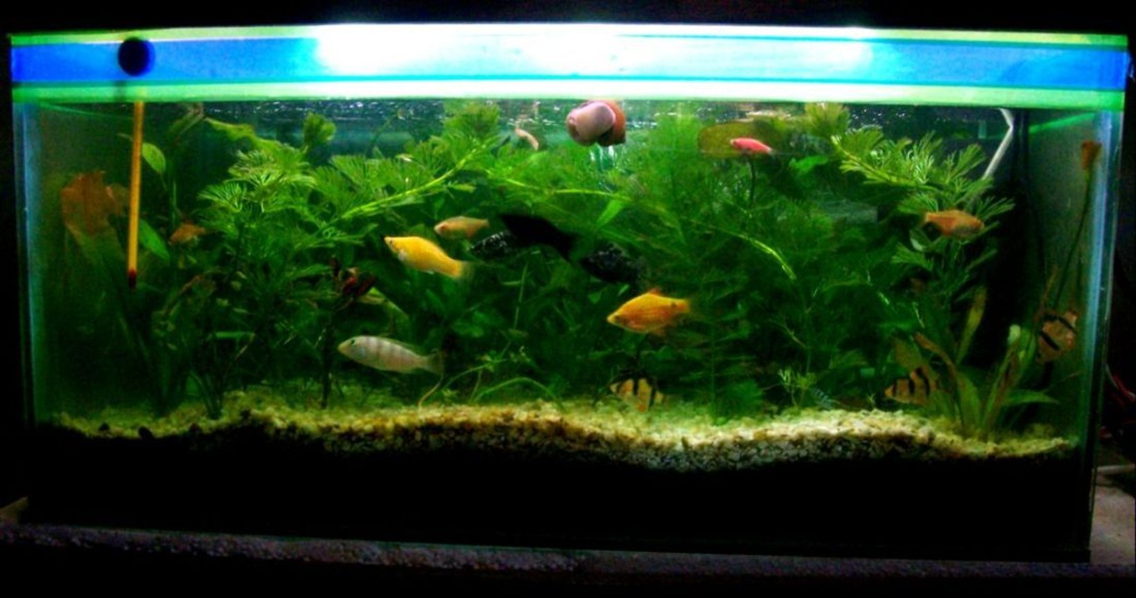 18 gallons planted tank (mostly live plants and fish) - All Live Plants Aquarium