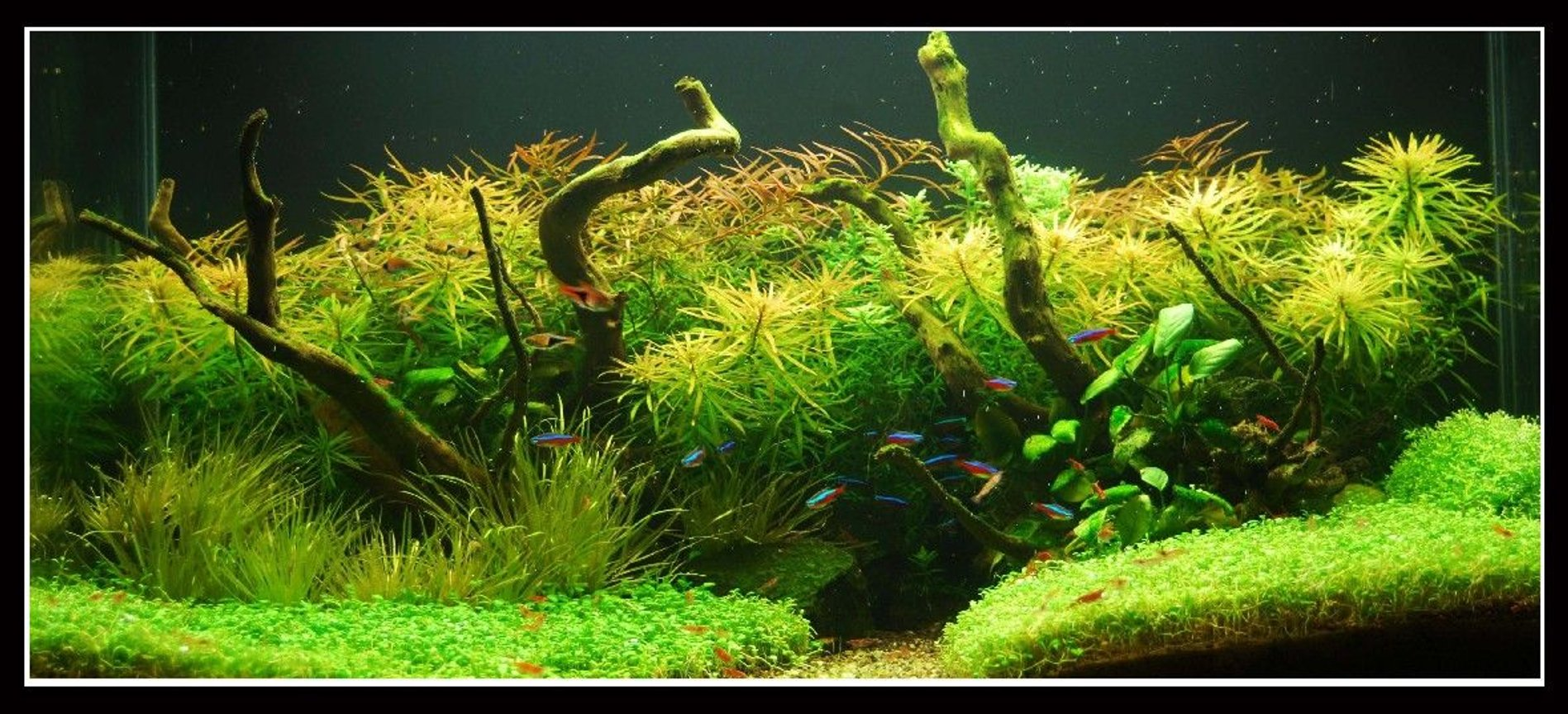 45 gallons planted tank (mostly live plants and fish) - In Nature's Glory