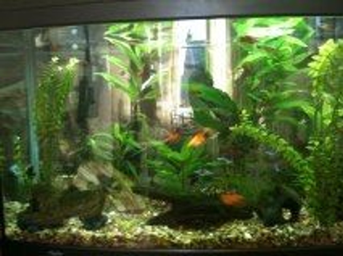 39 gallons planted tank (mostly live plants and fish) - My Aqua One 900 planted tank.