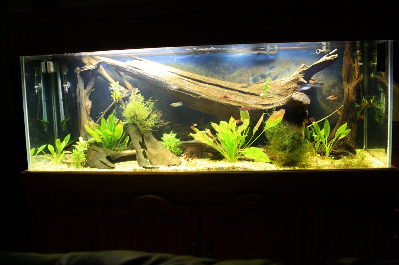 150 gallons planted tank (mostly live plants and fish) - My 150 at about 2 months of age.