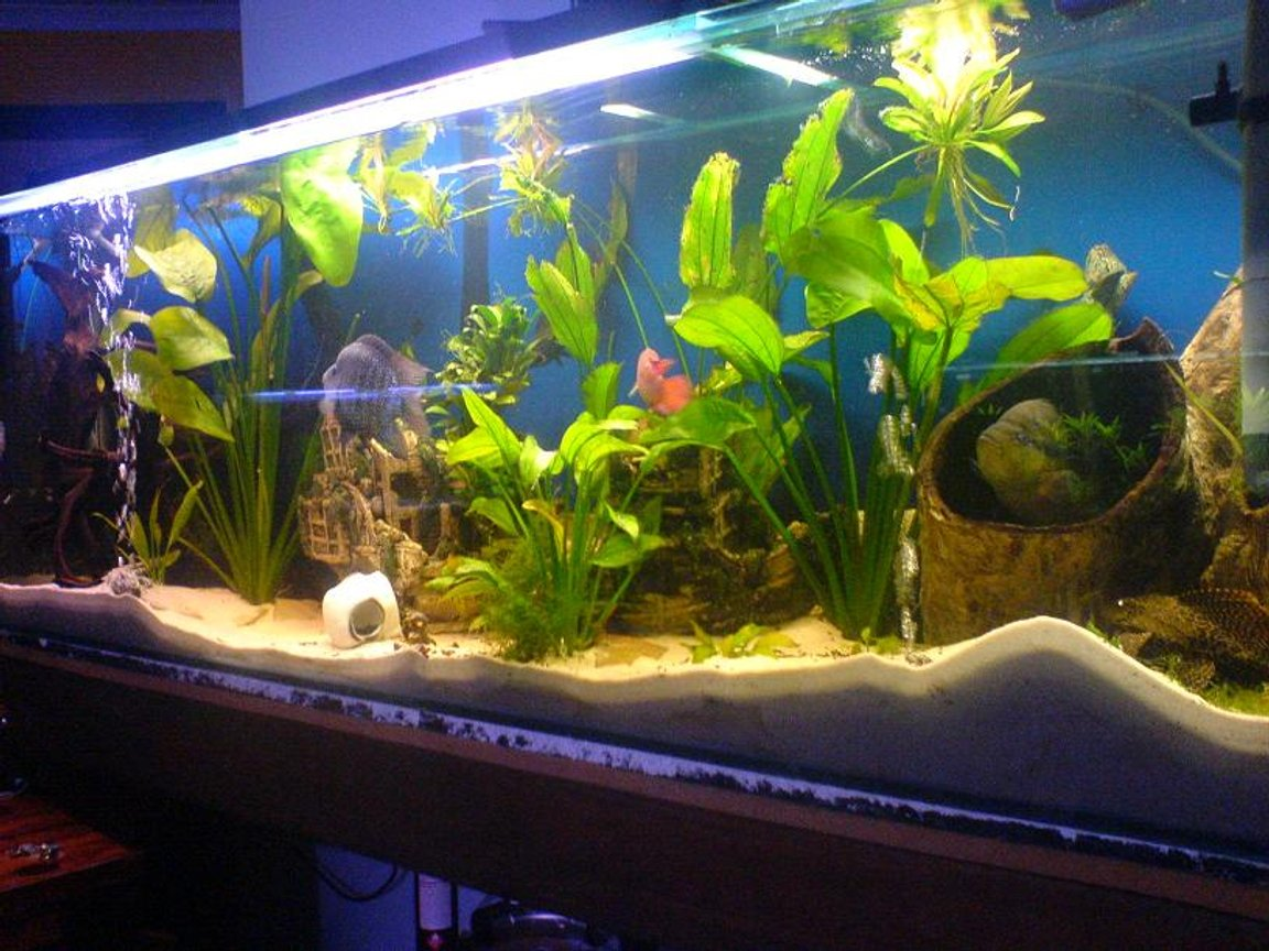 35 gallons planted tank (mostly live plants and fish) - This is my 6,foot 450,litre American chiclid tank. its 6ft long, 2 foot high, 1.5ft deep. It has some large amozon swords, large peices of drift wood at either end of the tank. A large boat thats broken in half in the center. Oh and a white skull the size of a small ball that the largerfish roll around the tank. Fish-: 20cm texas cichlid, 20cm salvini cichlid, 15cm green terror cichlid, 12cm jack dempsy cichlid, 10cm covict cichlid, 12cm red jewel cichlid, 22cm sailfin pleco, 15cm red tailed black shark, 18cm synodontis eupterus catfish. Filtration-: 2000lh aqua one internal filter 2000lh aqua one external canister filter