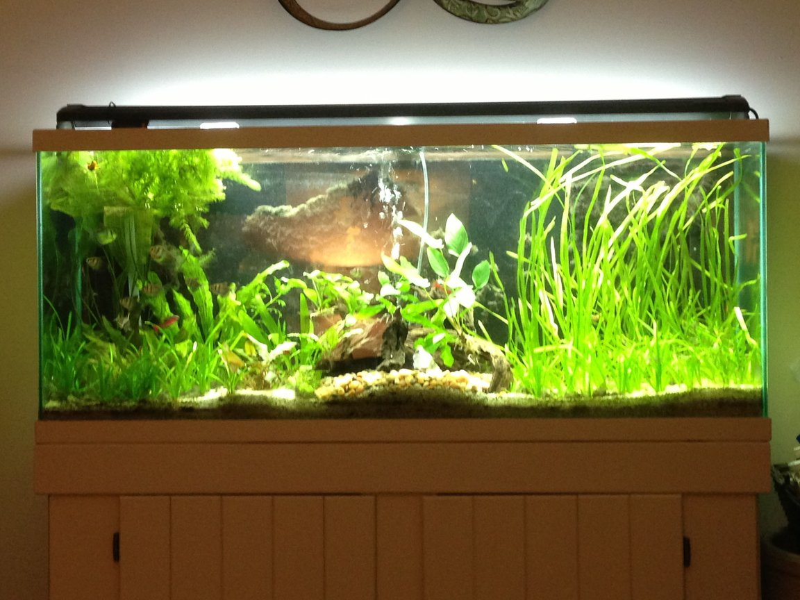 55 gallons planted tank (mostly live plants and fish) - My Tank.