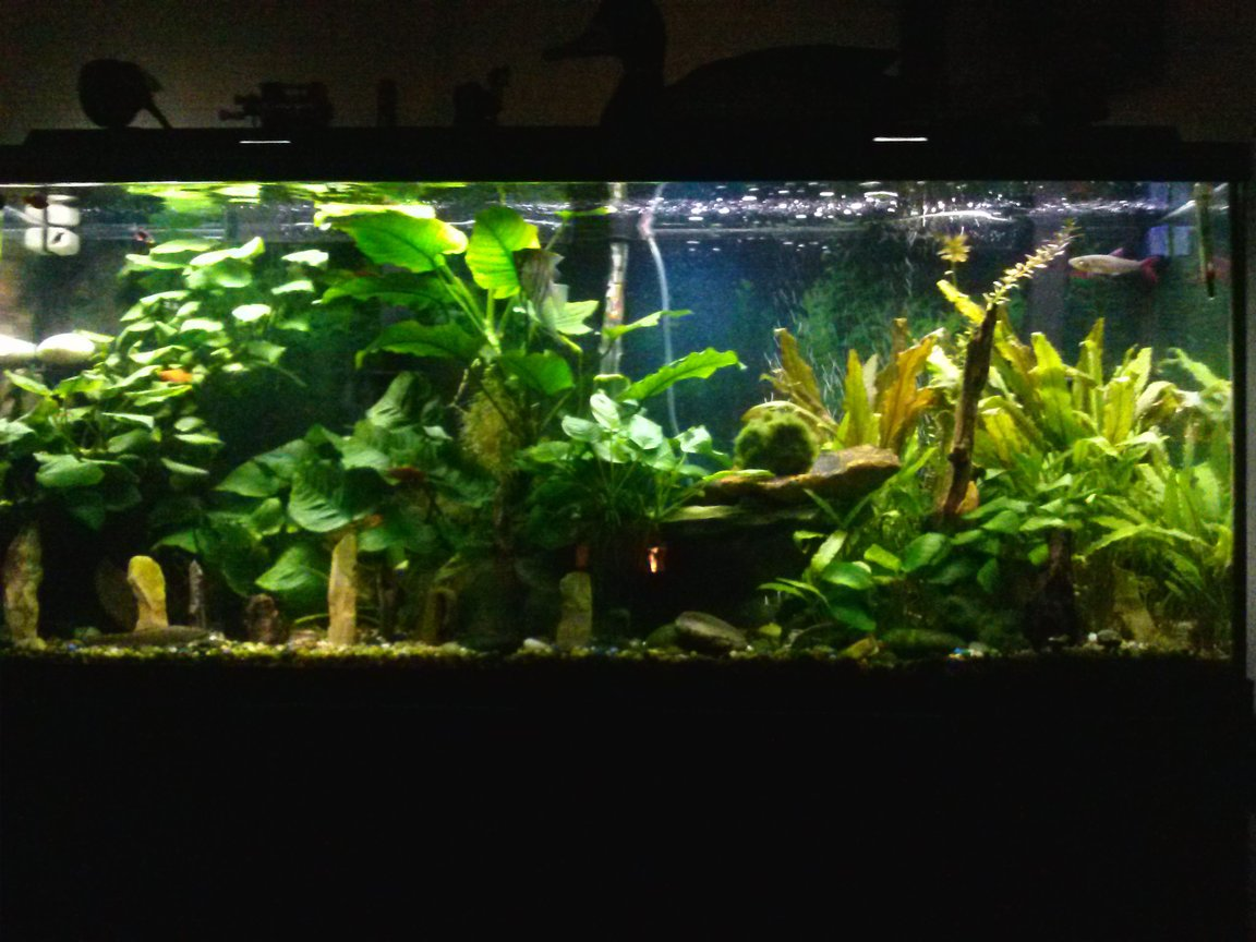 75 gallons planted tank (mostly live plants and fish) - Planted aquarium.