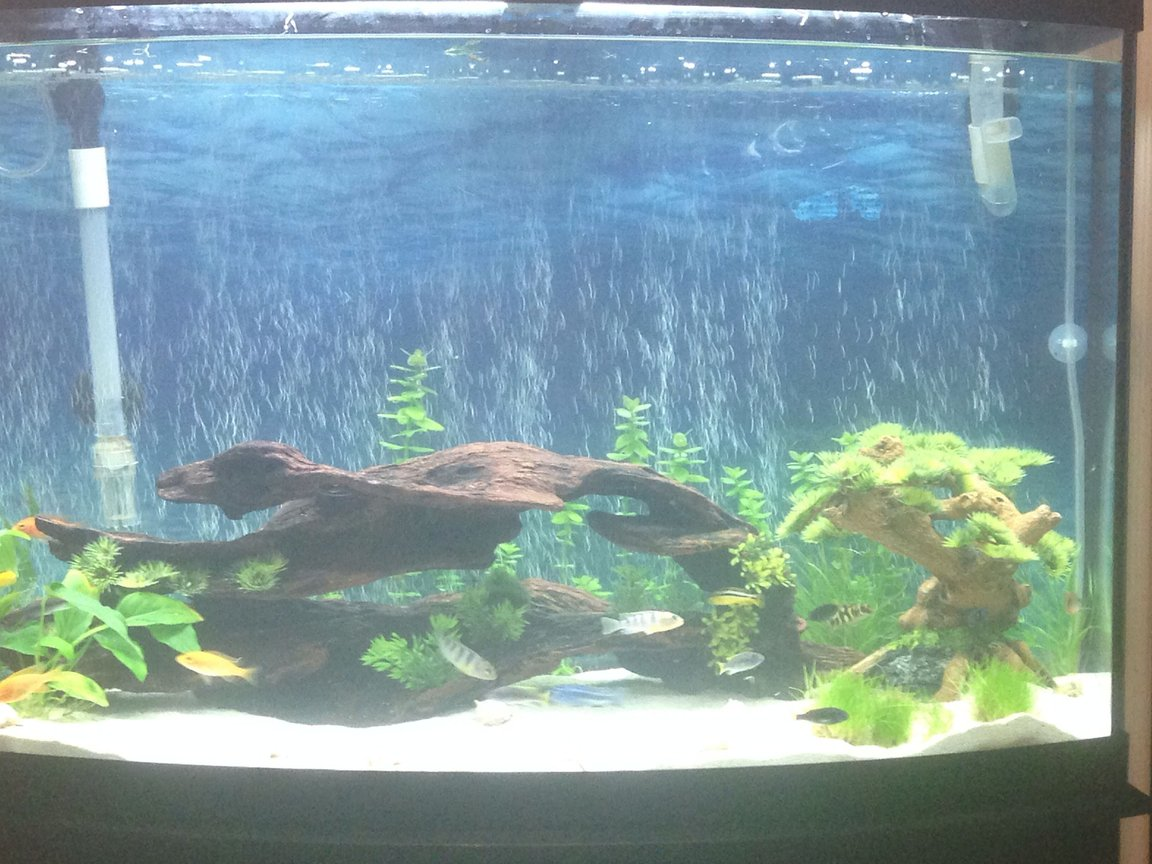 36 gallons planted tank (mostly live plants and fish) - Cichlid live planted