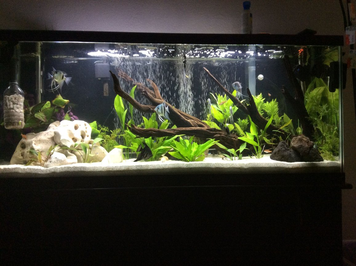 55 gallons planted tank (mostly live plants and fish) - 55 gallon planted angel fish tank