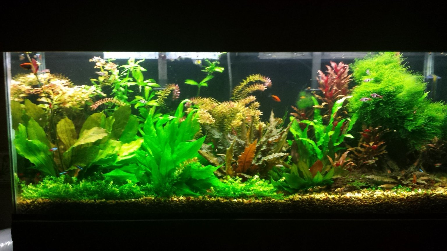 55 gallons planted tank (mostly live plants and fish) - Updated pic of 55 gallon