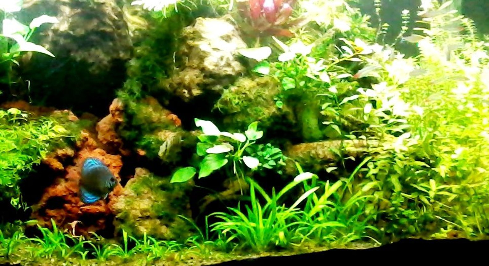90 gallons planted tank (mostly live plants and fish) - Slice of the 90 gallon Dutch method.
