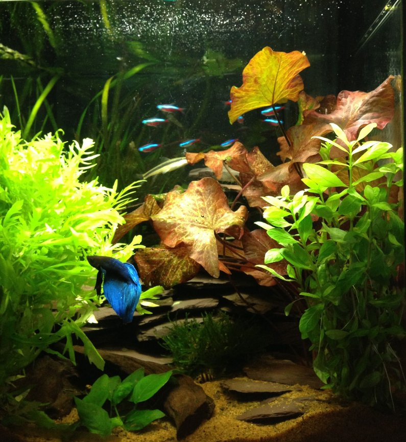 11 gallons planted tank (mostly live plants and fish) - Planted tank