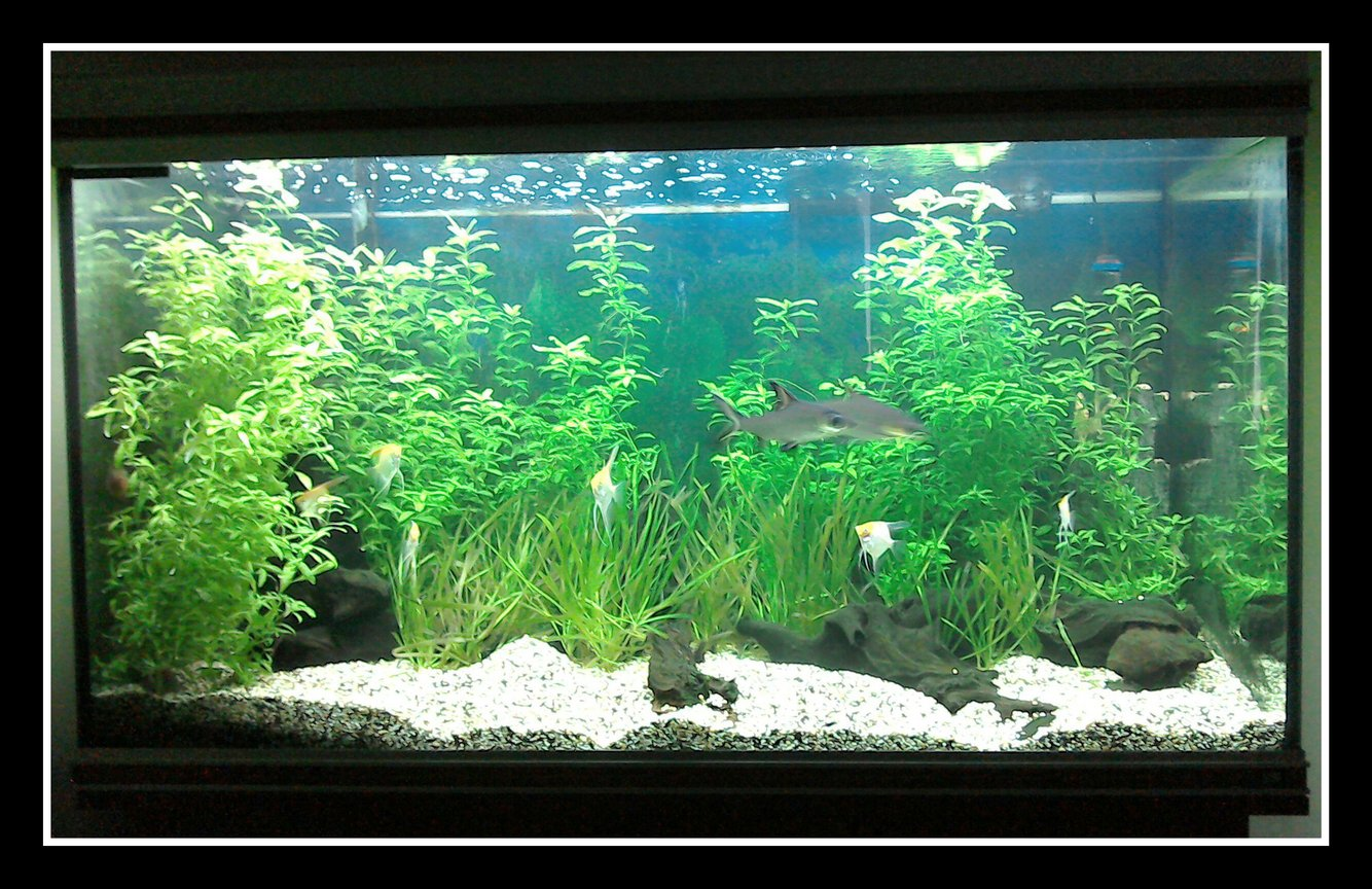 87 gallons planted tank (mostly live plants and fish) - Tropical planted freshwater