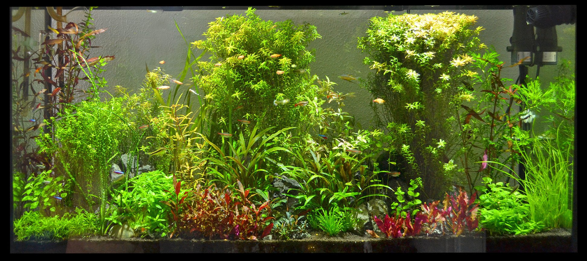 60 gallons planted tank (mostly live plants and fish) - 60 Gallon Planted Community Tank
