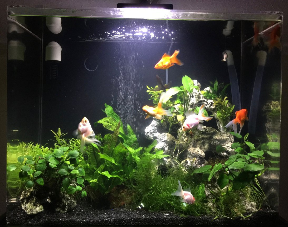 30 gallons planted tank (mostly live plants and fish) - Fengshui Aquarium, 4 orange, 4 white and 1 black goldfish, shrimps, plecos and assassin snails community to keep tank clean