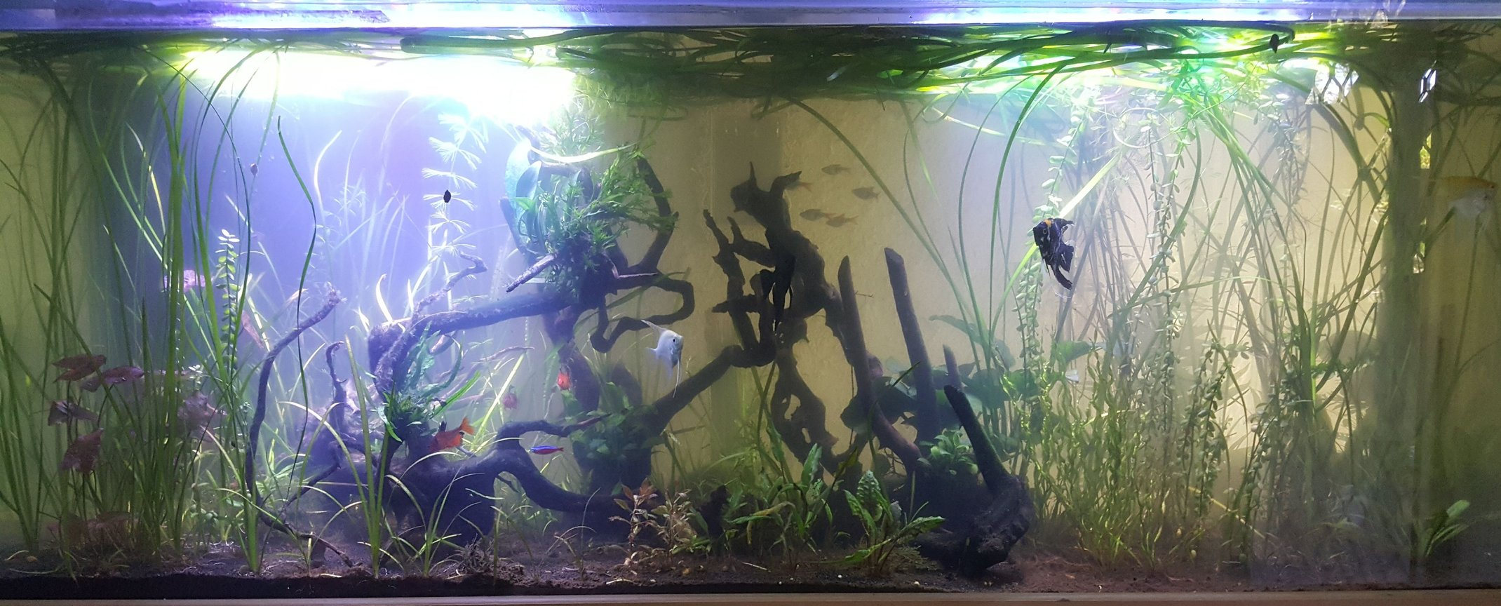 100 gallons planted tank (mostly live plants and fish) - Tropical Planted 100 gallon