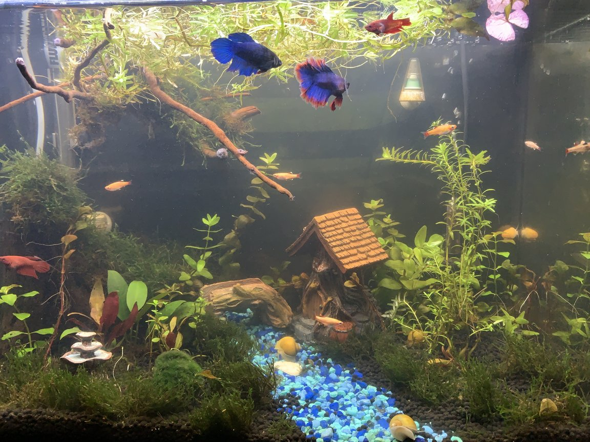 20 gallons planted tank (mostly live plants and fish) - Betta village
