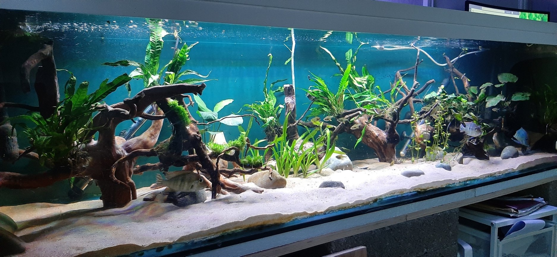134 gallons planted tank (mostly live plants and fish) - Rio Tapajos themed