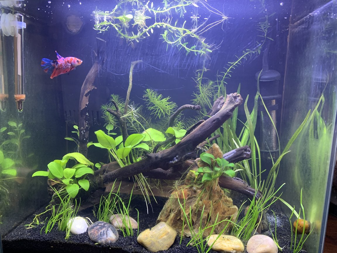 5 gallons planted tank (mostly live plants and fish) - My 5 gallon betta tank Comodo