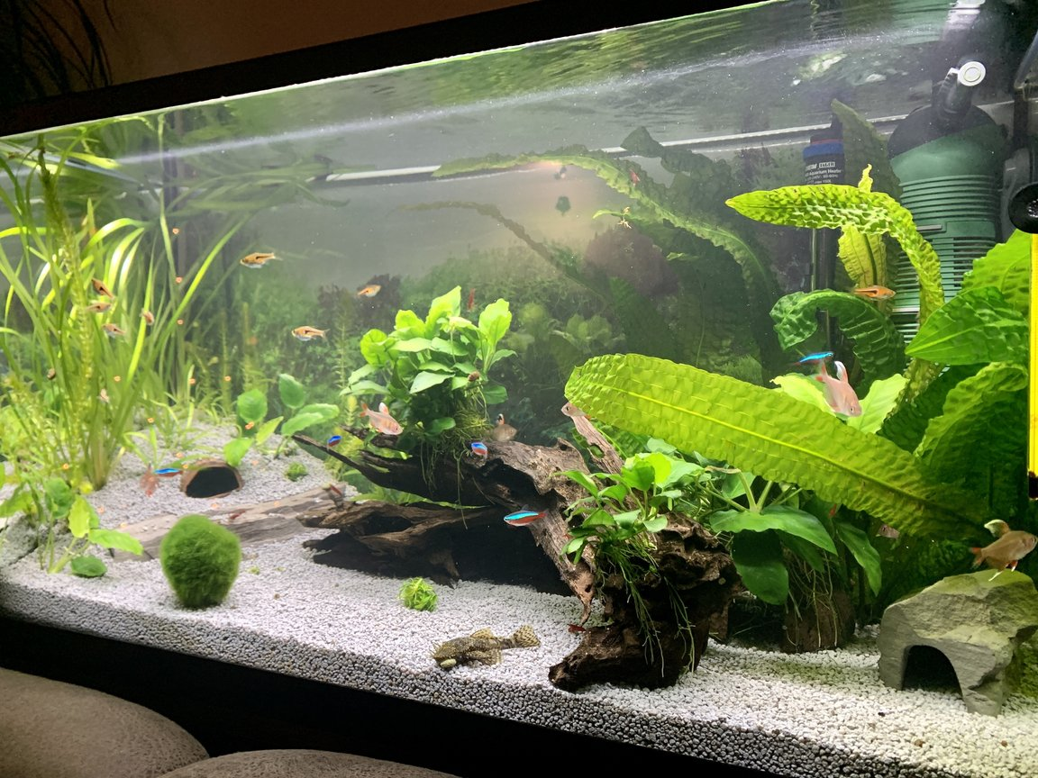 33 gallons planted tank (mostly live plants and fish) - 6 month old tank