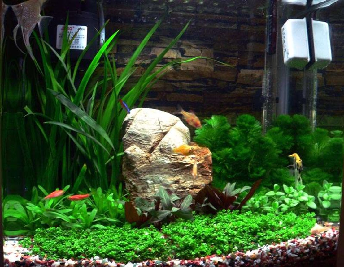 50 gallons planted tank (mostly live plants and fish) - Our little Jebo tank.