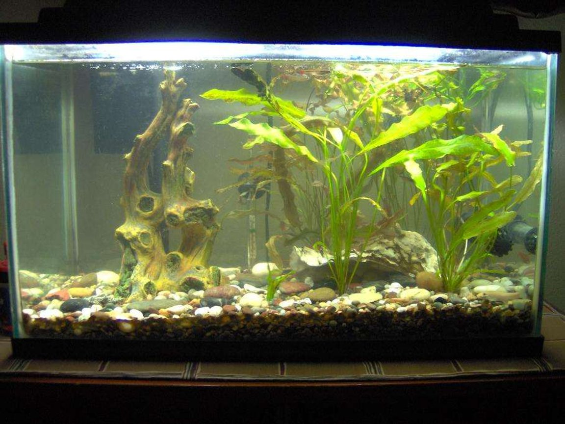 38 gallons planted tank (mostly live plants and fish) - 10 Gallon Tank, White Cloud Minnows, One Giant Oyster