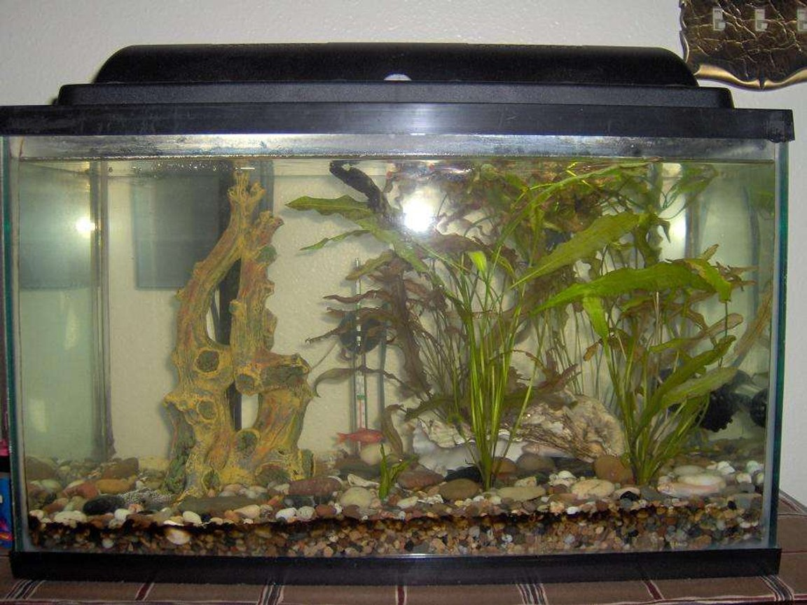 38 gallons planted tank (mostly live plants and fish) - 10 Gallon Tank, White Cloud Minnows, Cherry Barbs, One Giant Oyster