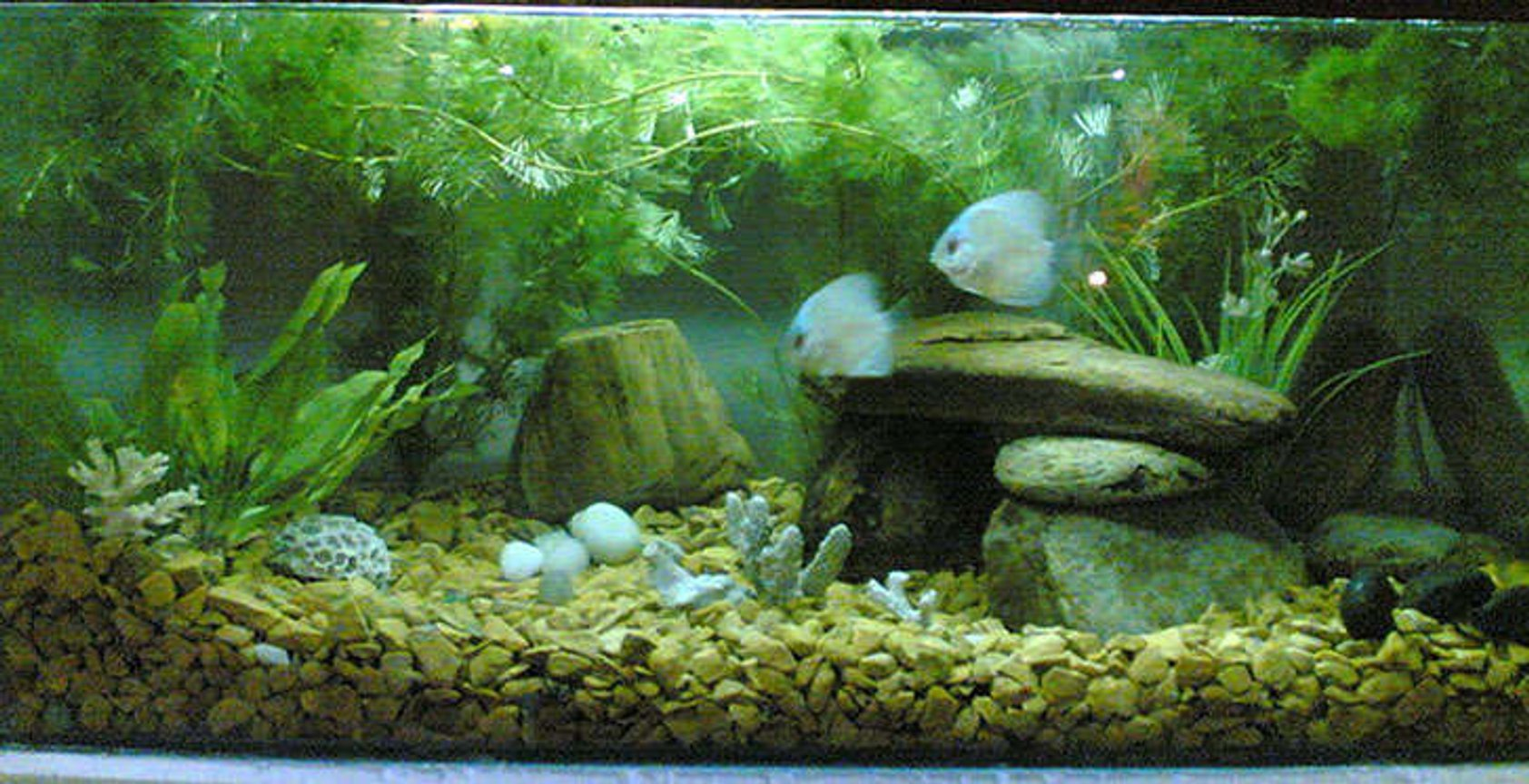 "15 gallons planted tank (mostly live plants and fish) - belive in natural. everything in my tank is real. Though Fish do not like artifical so stones, plants, and gravel are all real ones. Its a 2 x 1 x 1 tank (15g). Crystal clear Glass and water. Well I have two discuss Fish just 2"". They are young."