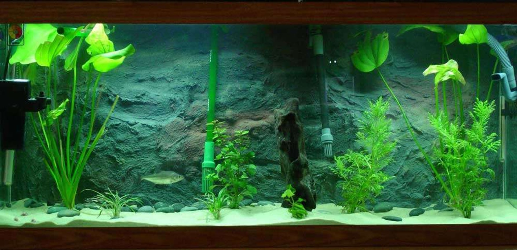 75 gallons planted tank (mostly live plants and fish) - I have a 75 with a homeade background (internal) and all live plants featuring Serra Elongatus. Its a piranha, and it is awesome
