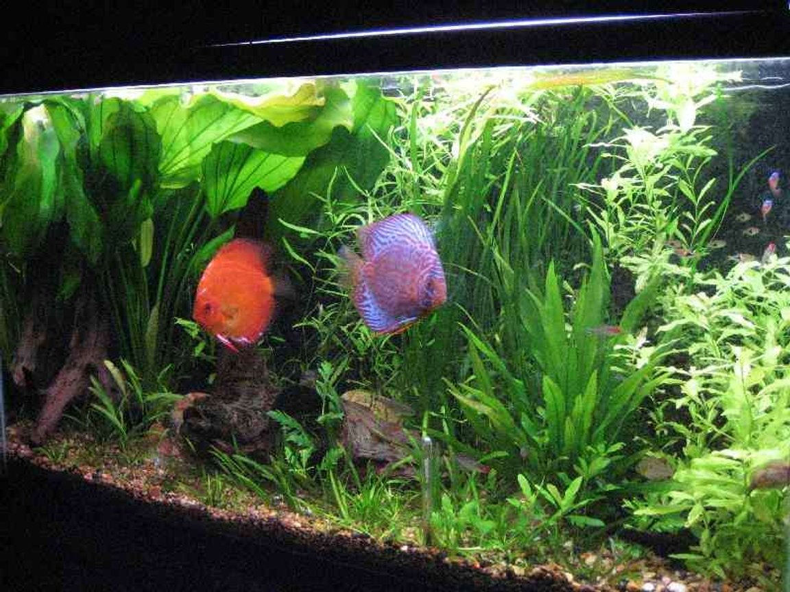 40 gallons planted tank (mostly live plants and fish) - planted discus