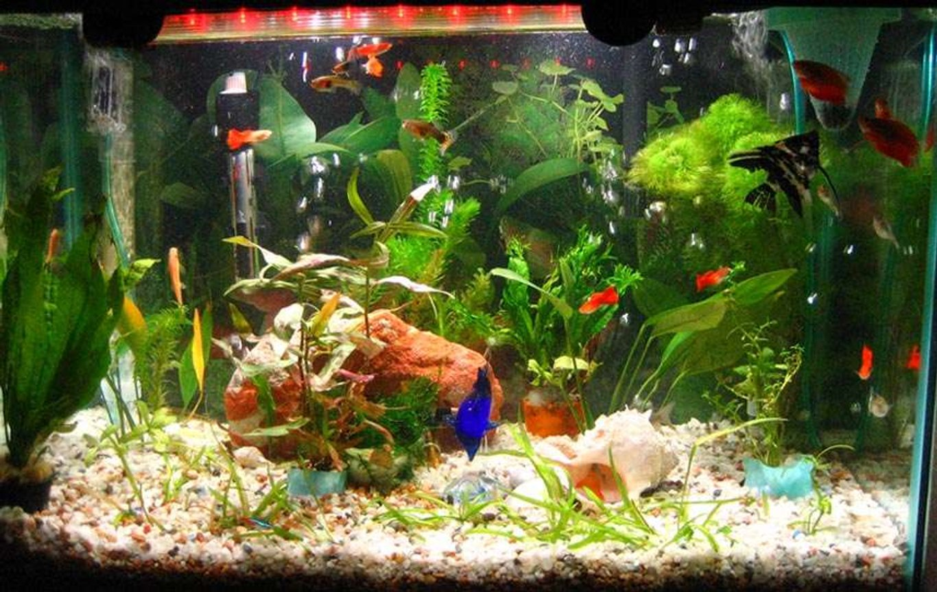55 gallons planted tank (mostly live plants and fish) - My 20Gallons with Community Fishes: angel, black ghost, guppies, neon tetra, chinese algae eater, clown loaches and cory cat.