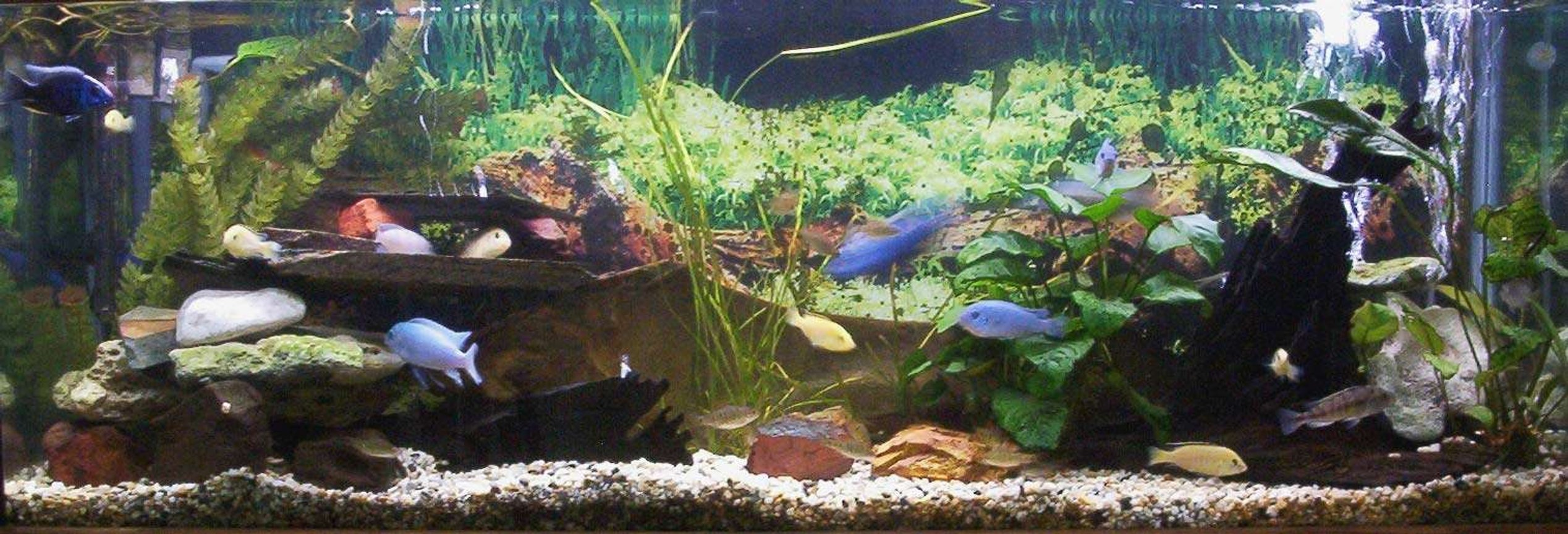 planted tank (mostly live plants and fish) - 4ft cichlid tank. Electric yellows. Electric blues. Psuedotropeus Colainos. Lombardoi. Phytophagus. Synodontis Multipuncatis. Ancistrus dolichopterus. Barbs. PLANTS: Val Anubias bateri Anubias hybrid