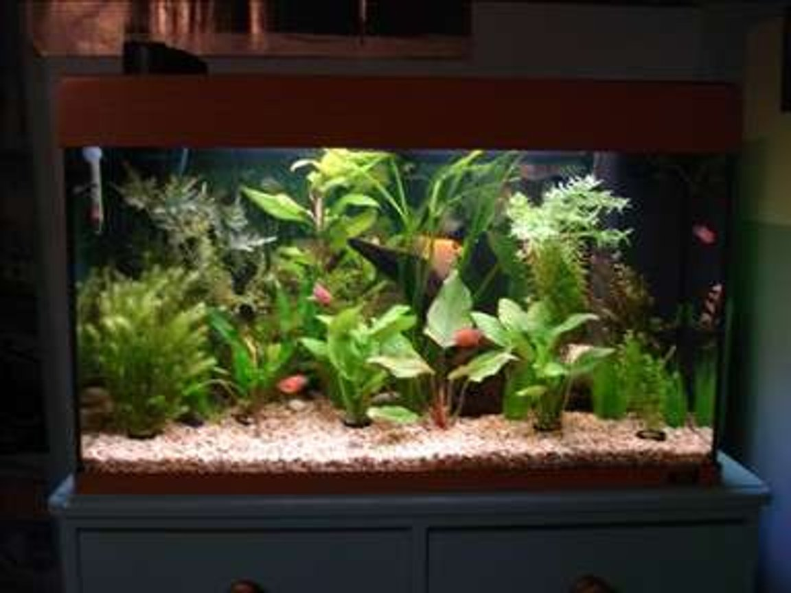 28 gallons planted tank (mostly live plants and fish) - another view of my tank, bubblers off and angel deciding to show himself