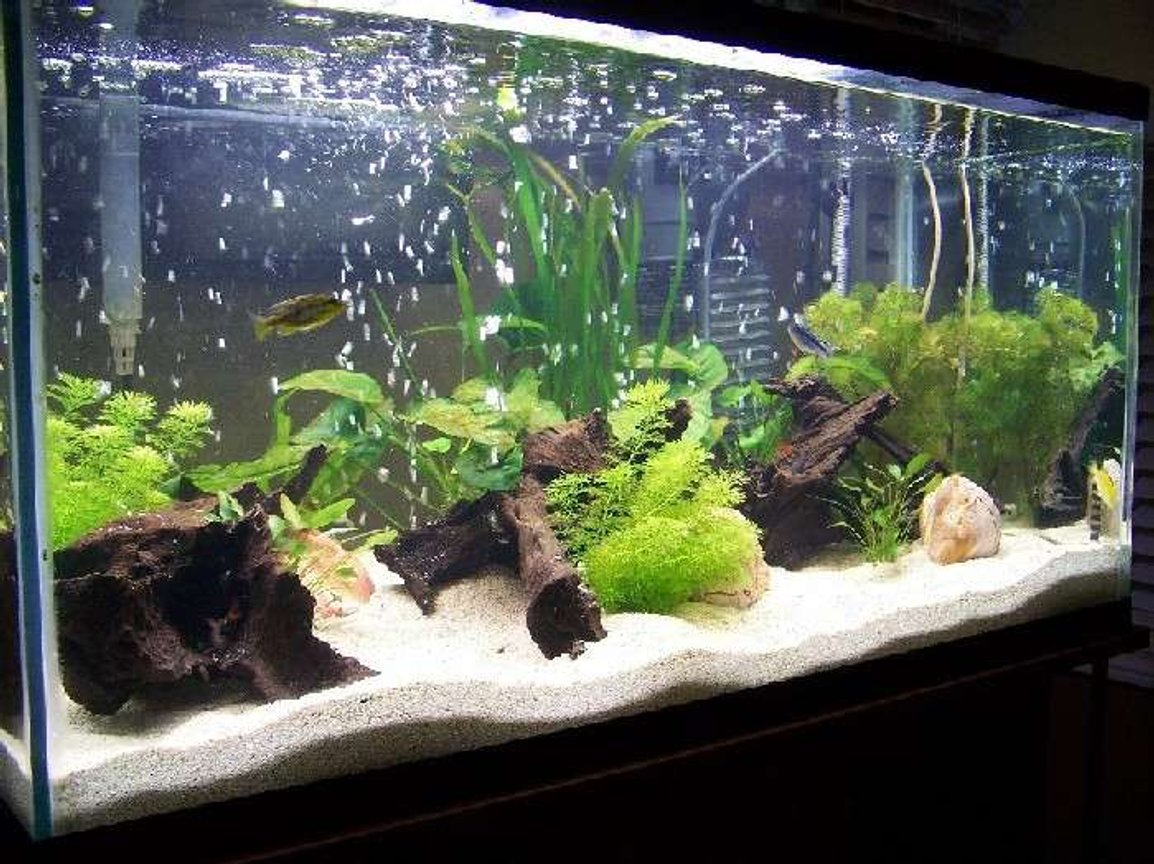 55 gallons planted tank (mostly live plants and fish) - real plants with a variety of young african cichlids and rainbow sharks