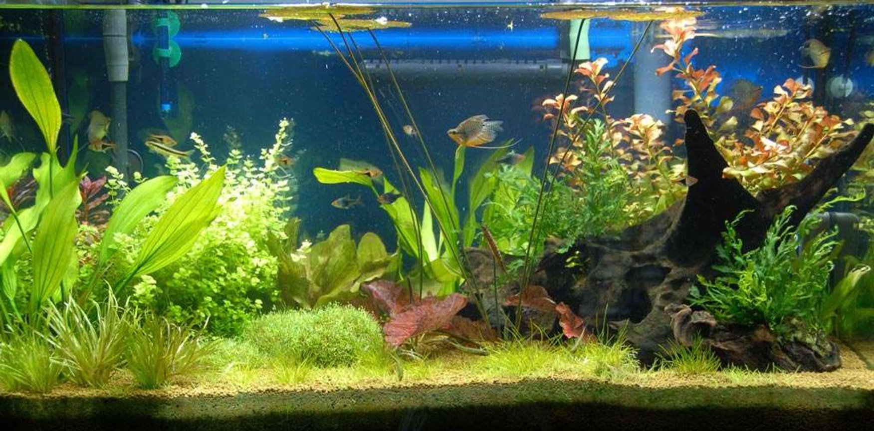 40 gallons planted tank (mostly live plants and fish) - My 40 gallon planted freshwater aquarium. I only discovered Takashi Amano after I started. Next time I'll try something in his style. Not a bad first effort though :-)