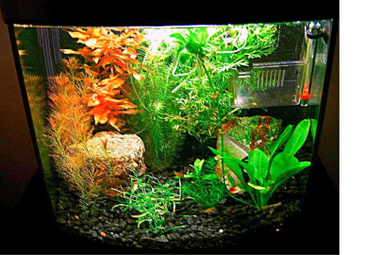 planted tank (mostly live plants and fish) - puffer