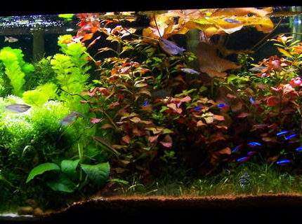 Rated #5: 50 Gallons Planted Tank - 4 Foot 50 Gallon Tropical community tank.