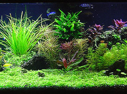 Rated #2: 125 Gallons Planted Tank - Malawi Redux